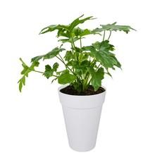 Elho Elho | Philodendron