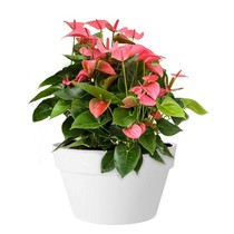Elho Anthurium Pink Champion In Elho Urban Schaal