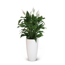 Lepelplant large in Elho pot