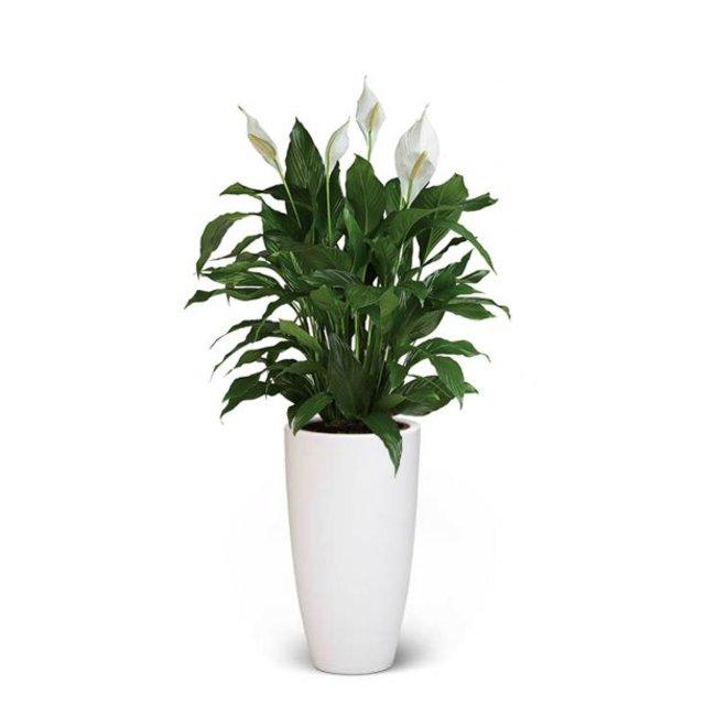Kamerplant Hoge Pot.Lepelplant Large In Elho Pot