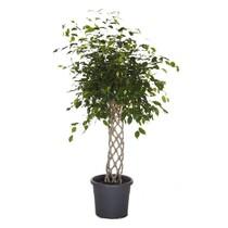 Ficus Benjamina gevlochten rek