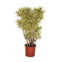 Dracaena 'Song of India' M