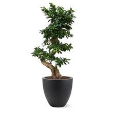 Ficus Bonsai in Bloempot Egg