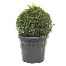 Taxus baccata Bol L