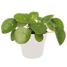 Pilea ''pannenkoekplant'' in Elho pot