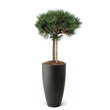 Elho Pinus nigra In Elho Pure Antraciet