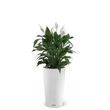 Lechuza Lepelplant in Zelfwatergevende pot