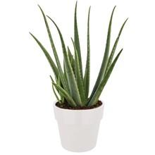 Elho Aloe Vera plant in Elho