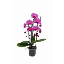 Orchidee Cascade donkerpaars