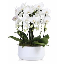 Orchidee Diamand 6 Tak 'Crown' Wit