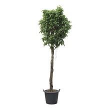 Ficus benjamina KingSize