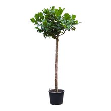 Ficus Lyrata KingSize
