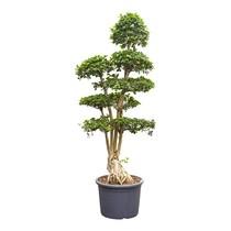 Ficus Microcarpa KingSize