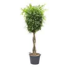 Ficus nitida