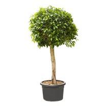 Ficus nitida KingSize