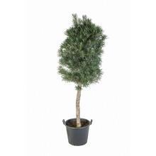 Podocarpus Stam KingSize