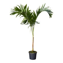 Veitchia (palm) KingSize