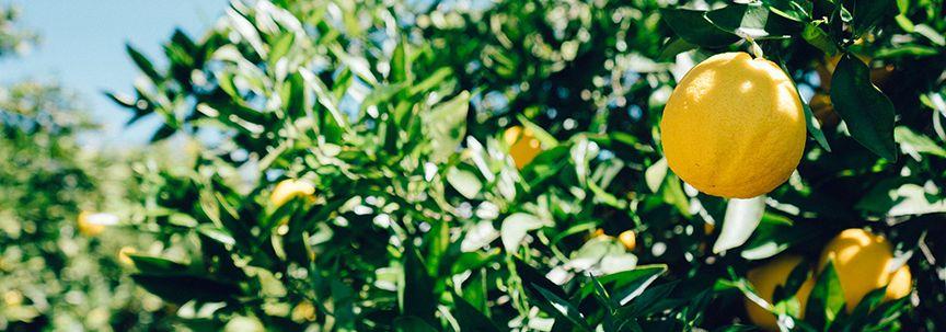 Een verfrissende zomer met de Citroenboom