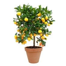 TerraCotta | Citrus Calamondin
