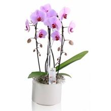 Orchidee Fleur 2 Tak Cascade Roze