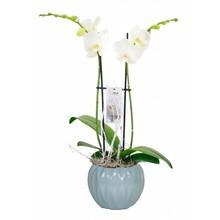 Orchidee Lynn 2 Tak Wit