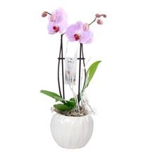 Orchidee Lynn 2 Tak Roze