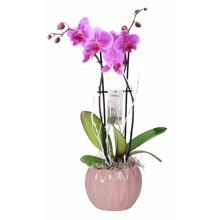 Orchidee Lynn 2 Tak Paars