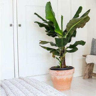 Bananenplant Musa Dwarf