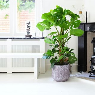 Gatenplant Monstera