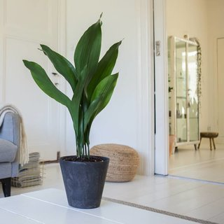 Kwartjesplant | Aspidistra