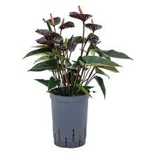 Hydroplant Anthurium Black