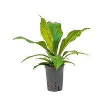 Hydroplant Anthurium Jungle Bush Small