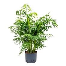 Hydroplant Chamaedorea