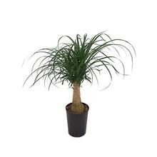 Hydroplant Beaucarnea recurvata