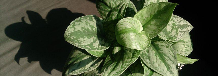 Woonplanten van de maand Augustus: Scindapsus