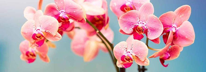 Woonplant van september is de vlinderorchidee
