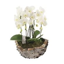 Orchideeën in Schelpen Schaal Bruin