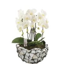 Orchideeën in Schelpen Schaal Silver Blue
