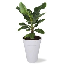 Elho Bananenplant in Elho Urban high