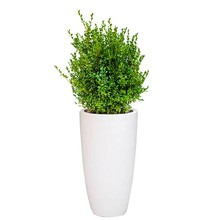 Elho Buxus Sempervirens In Pure Soft Wit