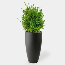 Elho Buxus Sempervirens In Pure Soft Antraciet