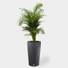 Lechuza Goudpalm in Zelfwatergevende pot