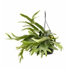 Hertshoorn hangplant