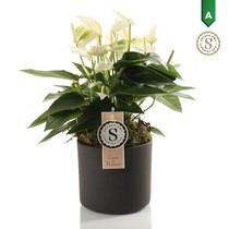 Anthurium white in Bari pot grey