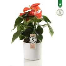 Anthurium orange in Bari pot white