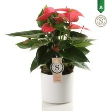 Anthurium pink in Bari pot white