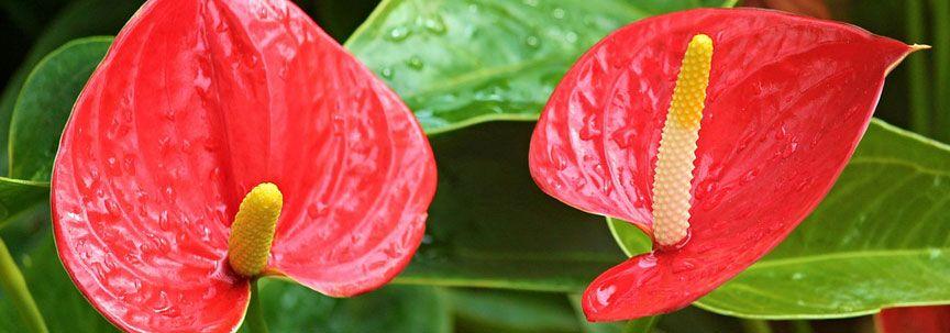 Kamerplant van de maand december: Anthurium