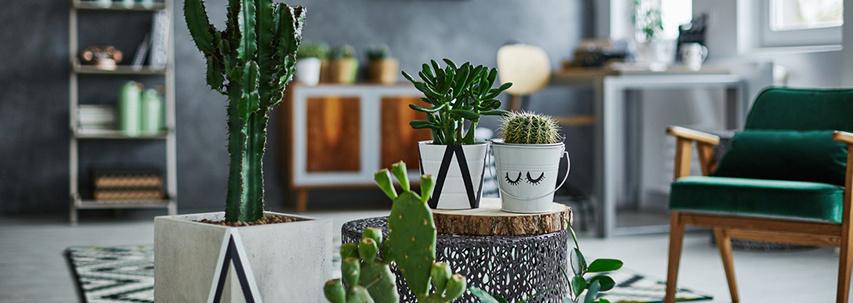 De verzorging van cactus planten