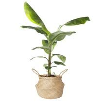 Bananenplant Musa in gevlochten mand medium