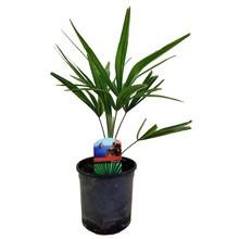 Trachycarpus waaierpalm XS